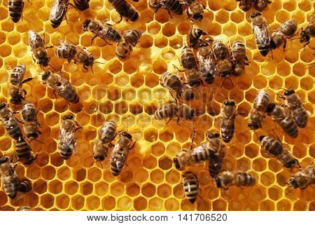 life and work of bees beekeeping - monitoring the sealing brood,