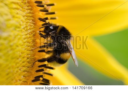 Macro view of a bee on sunflower. Nature background.