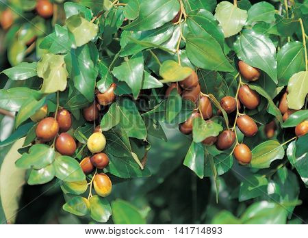 Jujube hanging in a tree