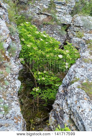 Flowering shrub Viburnum in a rock crevice. Beautiful and rich nature of the Crimea.