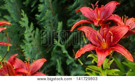 Red blooming lilies on green leaf background