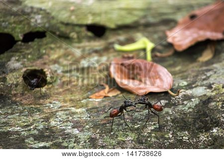 Camponotus gigas or giant forest ant is one of the largest ants in existence