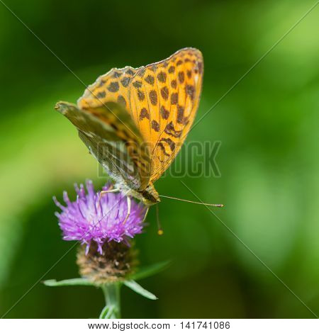 Queen of Spain fritillary on purple thistle