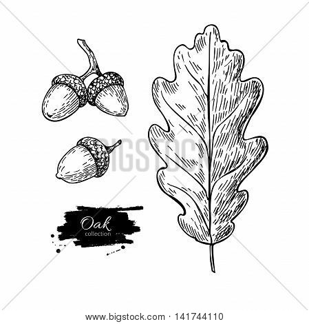 Vector oak leaf and acorn drawing set. Autumn elements. Hand drawn detailed botanical illustration. Vintage fall seasonal decor. Great for label sign icon seasonal decor