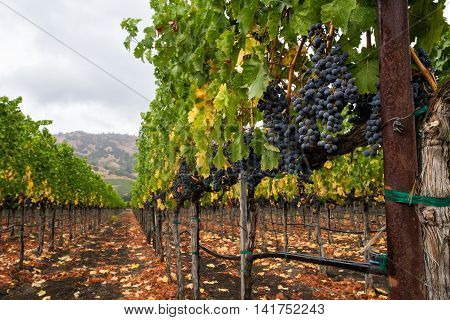 Vineyard row in autumn with ripe, red wine grapes at harvest. Purple grapes hang from vines in Napa Valley, California in fall. Fallen leaves on the ground and trellising of grapevines.