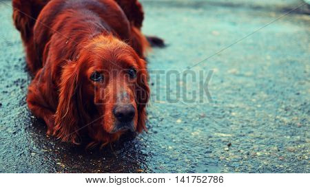 Parodist red dog in free-range after rain