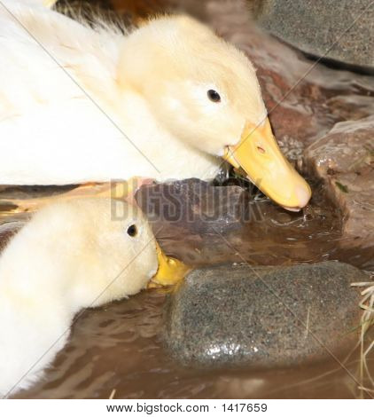 Baby Geese Eating In The Water