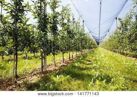 Apple orchard with ripened apples growing on trees in agricultural plantation in summer sun with anti-hail netting for protection against weather factors. Food production and industry concept.