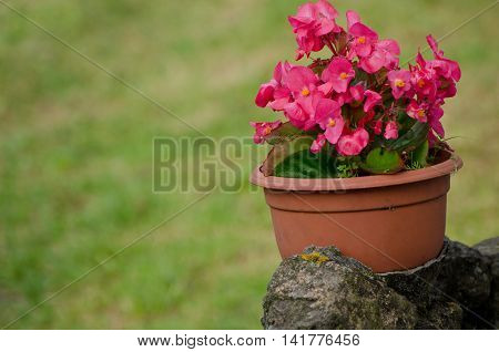 Pot with pink flowers on the stone street green background place for text