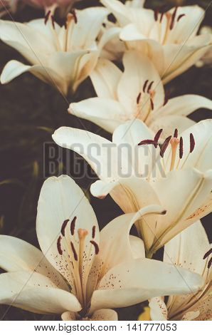 The flowerbed of biege lilies in soft tones