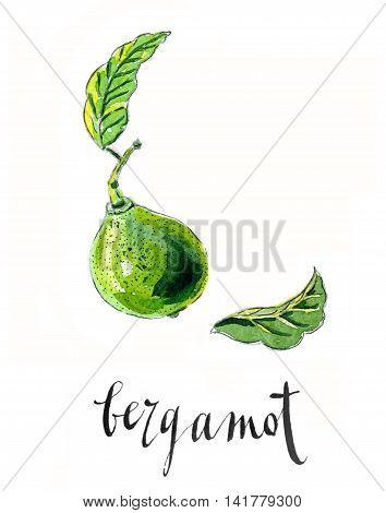 "Bergamot ""Kaffir lime"" hand drawn - watercolor Illustration"