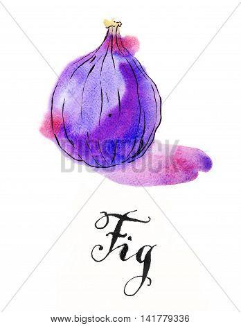 Violet fig hand drawn - watercolor Illustration