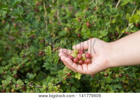 Berries of gooseberry on a female hand on a background of a gooseberries bush
