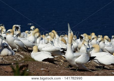 Northern Gannets on Bonaventure Island near Perce, Gaspesie, Canada. Bonaventure Island is home of the largest colonies of northern gannets in north America.