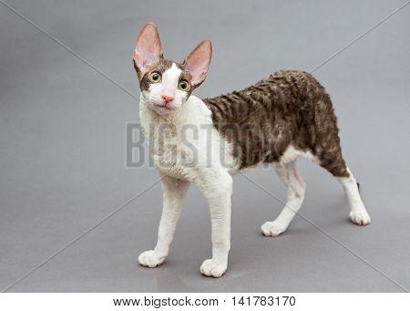 Funny cat Cornish Rex on gray background