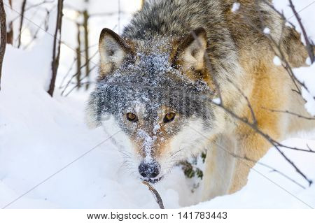 One wolf with wild eyes sneaks in the woods a cold winter day. Snow on the ground and on the trees.
