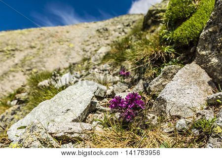 Plant (pedicularis Verticillata, Whorled Lousewort) The Floor Alpine Tundra.