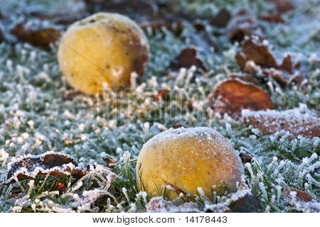 Closeup Of Apples On A Frosty Ground