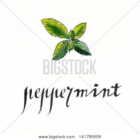 Fresh peppermint leaves hand drawn - watercolor Illustration
