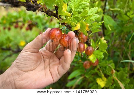 hand of child picking ripe berries of gooseberry in the garden
