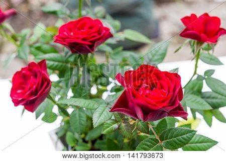 Focus Blurry Aromatic Red Roses Bouquet, Queen Of Flowers Symbol For Eternity Love