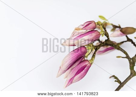 Abstract Beautiful Magnolia Flowers On White Copyspace Background