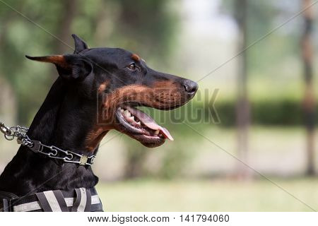 Watching dobermann portrait at the dog scool
