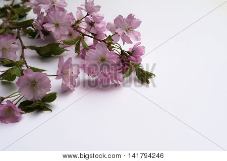 Aerial View Pink Japanese Prunus Serrulata Branches On White Background