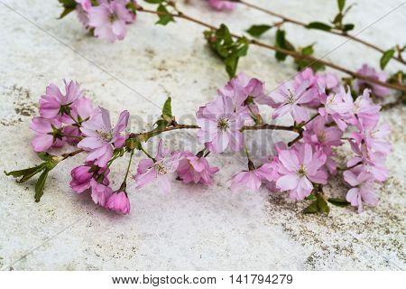 Focus Blurry Aerial View Pink Japanese Prunus Serrulata Branches On Vintage Table