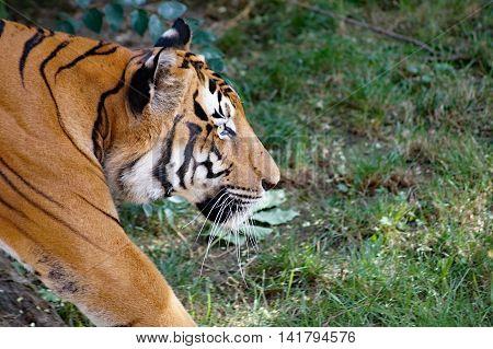 Malayan tiger  -  ( Panthera tigris jacksoni )