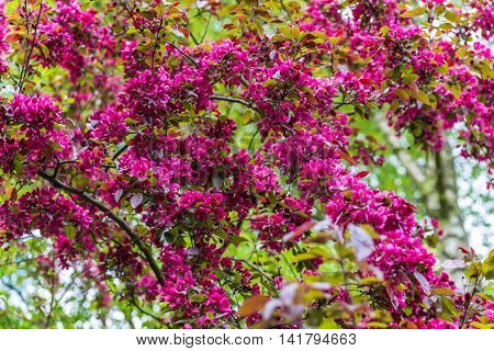 April Blooming Red Flowering Currant In Spring Garden