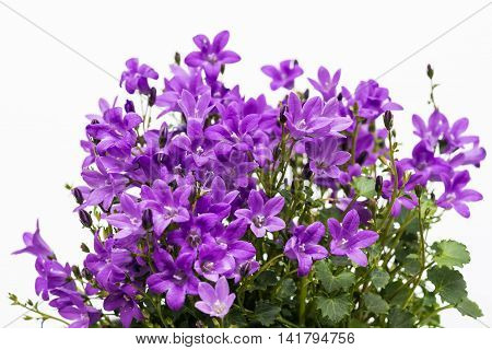 Aerial View Potted Purple Campanula Portenschlagiana Flowers On White Background