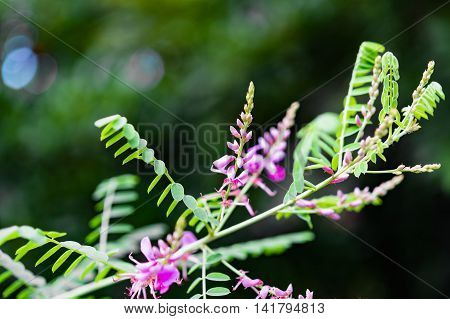 Fragile Magenta Red Indigofera Flower With Small Leaves And Bokeh Background