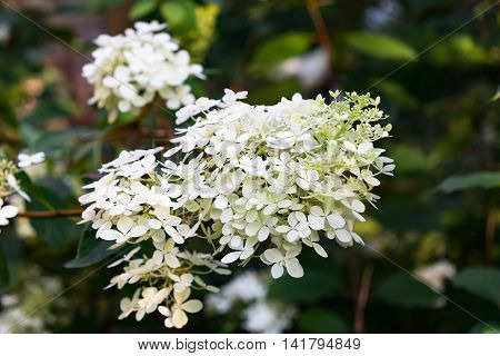Blooming White Hydrangea Plant With Green Leaves In Summer Garden