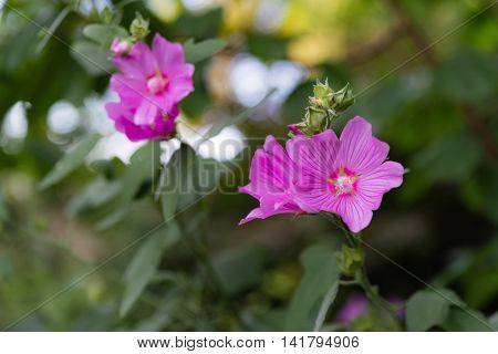 Pink Malva Flowers And Buds In Summer Garden Against Bokeh Background