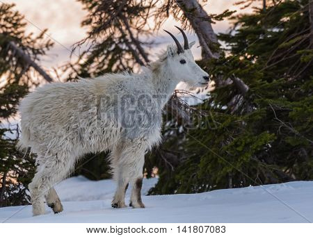 Young Mountain Goat Stands in Snow on edge of pine tree forest