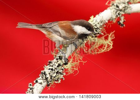 Chestnut-backed Chickadee Calling From A Lichen-Covered Perch In California.