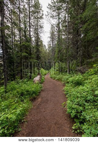 Wide Trail in Montana forest climbs up a mountain path
