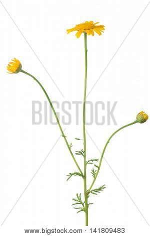 gold flower isolated on white background