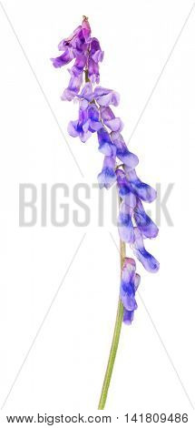 lilac and blue flower isolated on white background