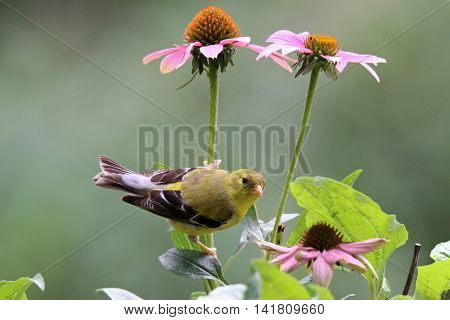 A female American goldfinch perching on the stem of a purple coneflower.