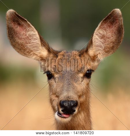 A Portrait Of A Female Mule Deer Being Playful