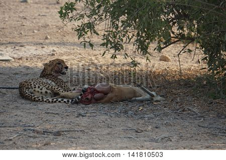 Cheeta with his fresh kill. Sir Bani Yas Island, United Arab Emirates. 21st September, 2015
