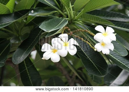 Tropical plumeria Frangipani flower tree white and yellow