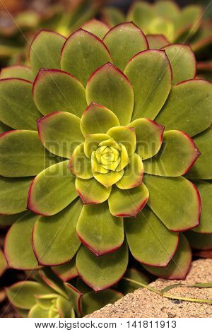 Succulent Echeveria pulidonis is green with pink edged leaves and is native to Mexico.