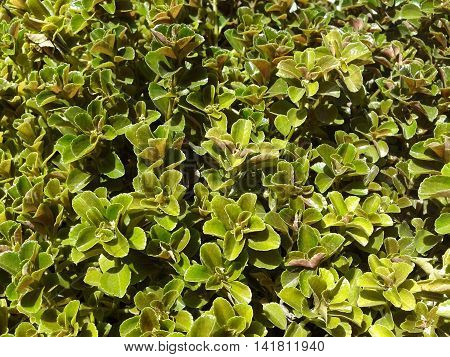 group of green litle plants on the garden