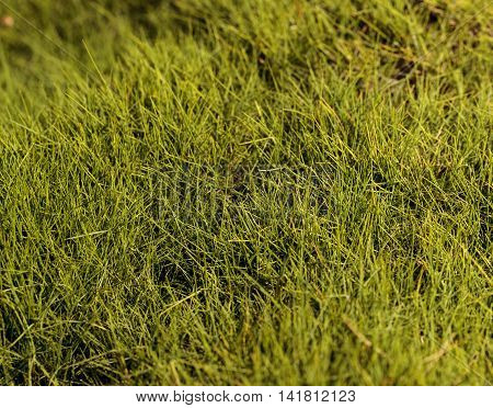 Textured bright green moss background in spring