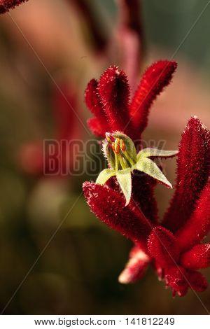 Dark red Tall Kangaroo Paws flowers Anigozanthos flavidus blooms in a botanical garden in Australia