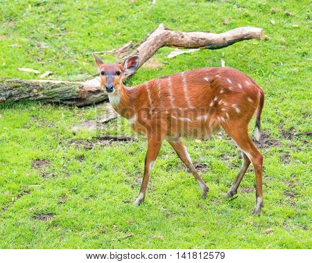 Western Sitatunga (Tragelaphus spekii gratus). Activity of young Sitatunga female antelope eating grass. Pasture of wild animal on the meadow in zoo.