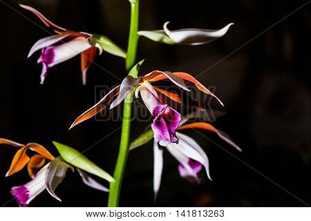 Close-Up White Orange Pink and Purple Orchid, Thailand